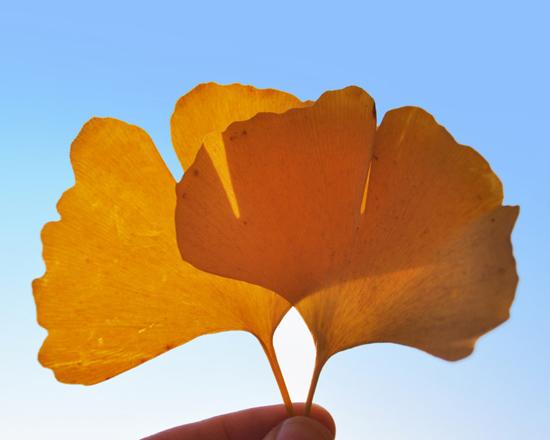 银杏叶不宜用泡水 副作用大