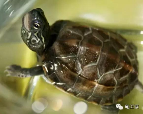 巴西红耳龟可能是世界上饲养最广的一种爬行动物
