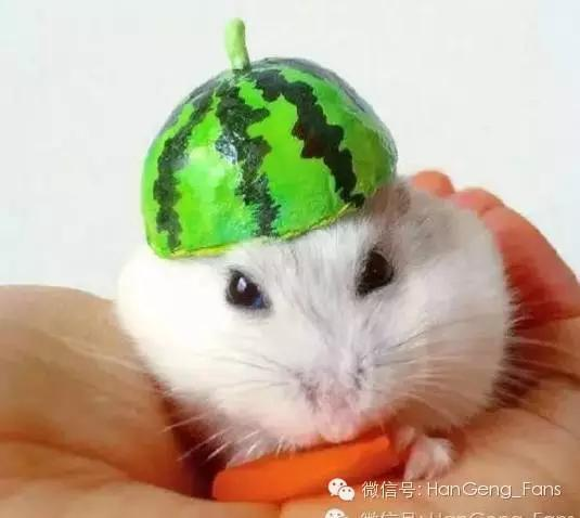 仓鼠能吃什么水果