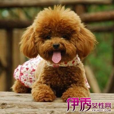 泰迪犬其实是贵宾犬的一种造型