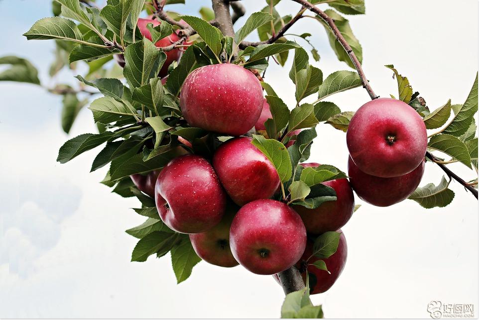 教你如何让苹果成为止泻良方_1