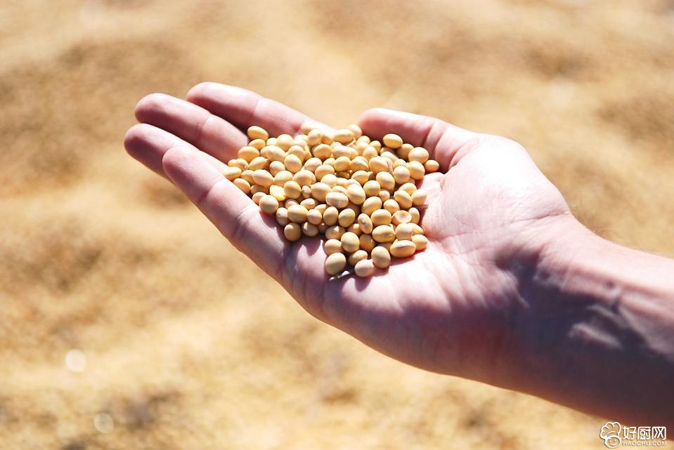 吃黄豆能防癌还能防血管硬化_1