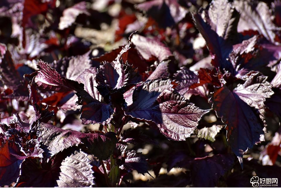 夏季开胃吃紫苏_1